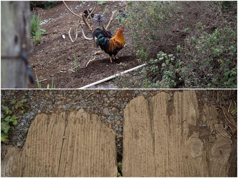 maui, lavender farm, haleakala, rooster