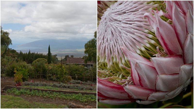 maui, lavender farm, protea, haleakala